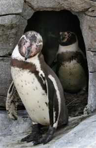 Germany Male Penguin Parents